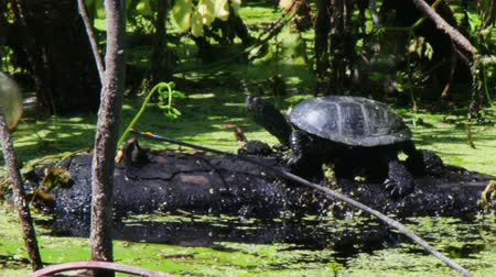 sunning : One big turtle and a small second turtle got out on the log and sit there, basking in the sun. Around them seaweed, lily, lilies, greenery, and water. Stock Footage