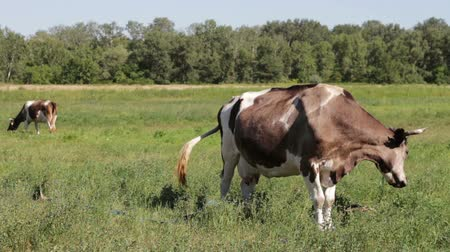 ranč : Beautiful gray and white cows grazing on a green meadow eating grass, chew it and relaxing on the farm. . Above them flies circling. They wave their tail from side to side.