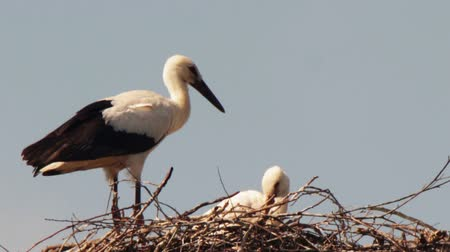 ciconiidae : Several storks sitting in a nest on a pillar high voltage power lines. Stork and his chick are high above the earth in the nest. Three Asita live in a nest on a pillar. Stork flaps its wings and flies up over the nest. Stock Footage