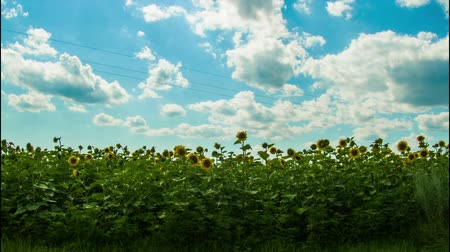 blue and yellow : Sunflower field in the valley in summer on the sky background with clouds. Timelapse. Stock Footage