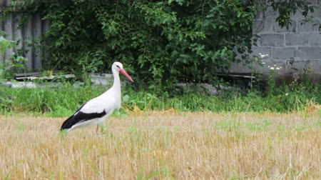 ciconiidae : Big stork white with black feathers, red beak and red feet, moving down the field in the village. Houses, trees and fields in the background.