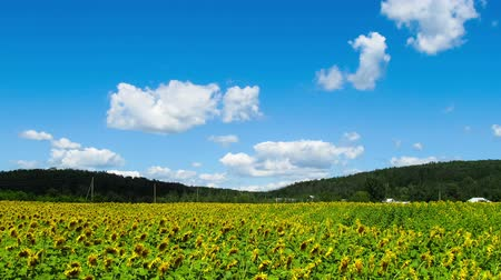 girassóis : Sunflower field in the valley in summer on the sky background with clouds. Timelapse. Vídeos