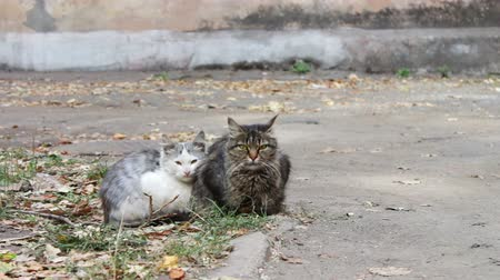 sacra : Two cats, one white with gray and the other black with brown, sitting on yellow autumn leaves fallen on the pavement in the yard near the house. Stock Footage
