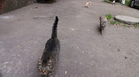 felidae : Lots of gray, white, black wild cats walk on asphalt and ask a human food. Stock Footage