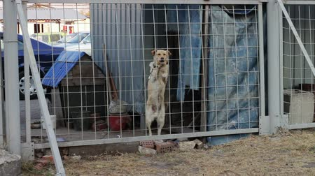 rescue dog : A dog on a chain on a leash near the dog house, stood on two legs, grabbed his front paws over the fence and barks.