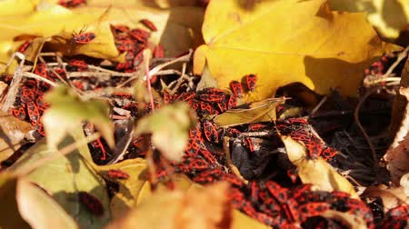 firebug : Colonies of red soldier bug crawling in yellow autumn leaves in bright sunlight near the bushes. Stock Footage