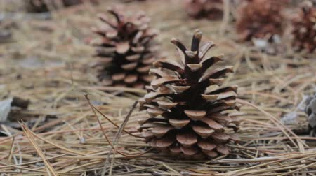 agulha : A lot of different big cones, needles and tall pines in the summer pine forest. The camera glides over the ground. Stock Footage