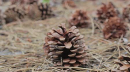 pinho : A lot of different big cones, needles and tall pines in the summer pine forest. The camera glides over the ground. Vídeos