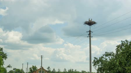ciconiidae : Storks are Sitting in a Nest on a Pillar. Time Lapse