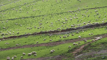 koyun : Huge Flock of Sheep Grazing on a Mountain Pasture