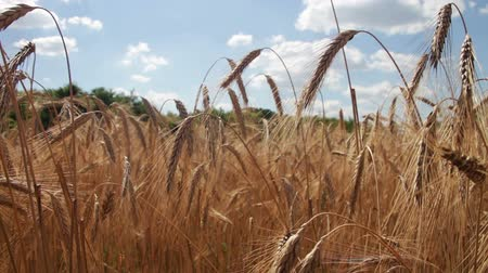 кукуруза : Cereal Field and Spikelets