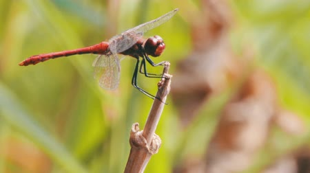 renowned : Dragonfly on a Branch Stock Footage