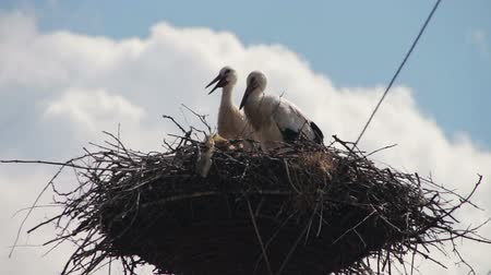 ciconiidae : Storks are Sitting in a Nest on a Pillar Stock Footage