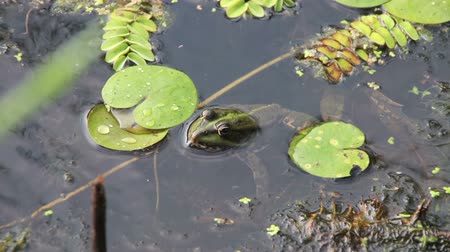 anuran : Green Frog Sitting in the River near the Lilies