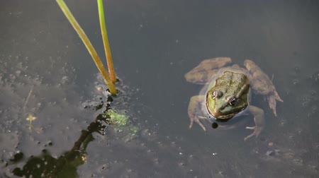 anuran : Frog in the River near the Lilies