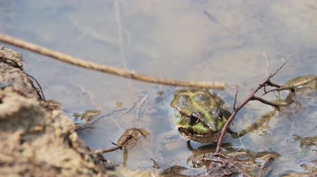 anuran : Frog in the River