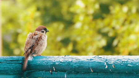 bird eye : Sparrow Sitting on the Railing of the Balcony Stock Footage