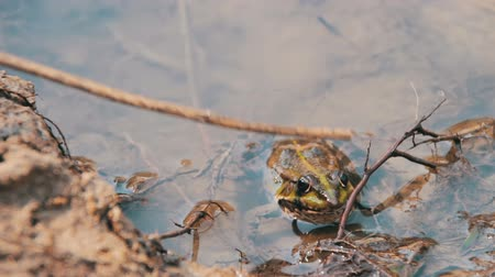 anuran : Frog in the River. Stock Footage