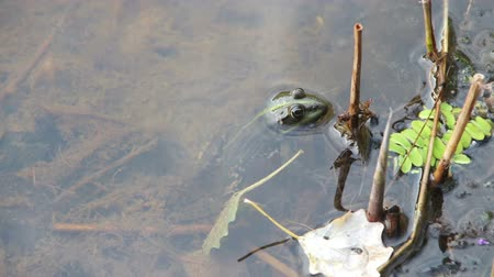 anuran : Frog Sitting in the River