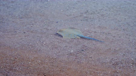 exotikou : Stingray in the Red Sea
