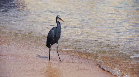 gularis : The Reef Heron Hunts for Fish on the Beach of the Red Sea in Egypt. Slow Motion