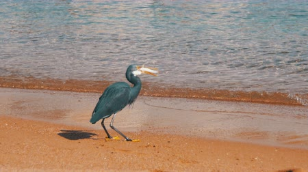 gularis : The Reef Heron Hunts for Fish on the Beach of the Red Sea in Egypt