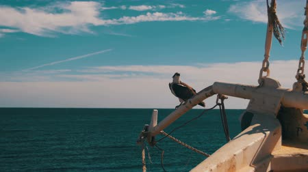 tampa bay : Marine Bird of Prey Osprey Sits on the Mast of the Ships Bow Against Background of Red Sea Stock Footage