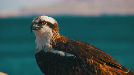 tampa bay : Marine Bird of Prey Osprey Sits on the Background of Red Sea Stock Footage