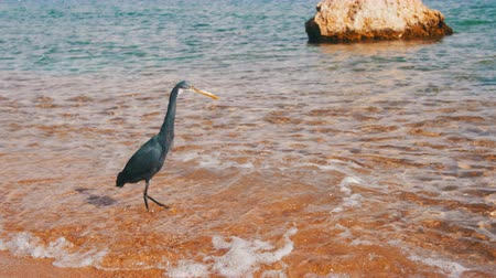sacra : The Reef Heron Hunts for Fish on the Beach of the Red Sea in Egypt