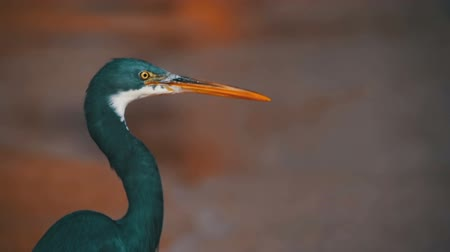 sacra : The Reef Heron Hunts for Fish on the Beach of the Red Sea in Egypt. Slow Motion
