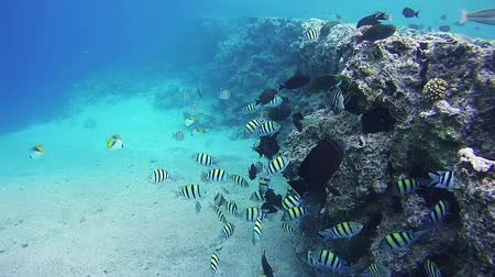 underwater scenes : Beautiful Colorful Tropical Fish on Vibrant Coral Reefs Underwater in the Red Sea. Egypt