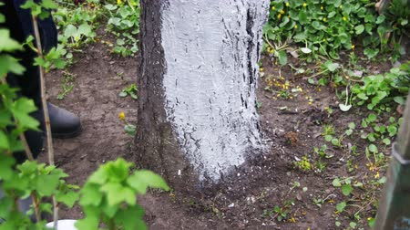 branquear : Gardener Whitewash Tree Trunk with Chalk in Garden, Tree Care in Spring Vídeos