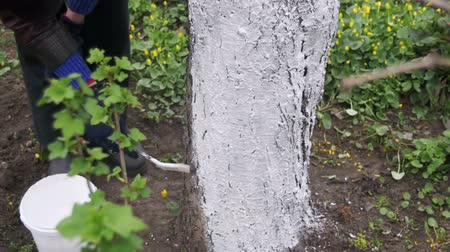 branquear : Gardener Whitewash Tree Trunk with Chalk in Garden, Tree Care in Spring. Slow Motion