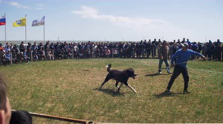 pulling off : Dog Fights Show. Animal Fights. Crowd of People Watching the Battle of Bloodied Dogs