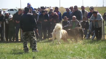 evcil : Dog Fights Show. Crowd of People Watching Violent Battle Between Bloody Dogs in Slow Motion Stok Video