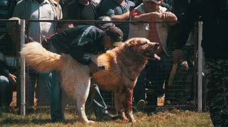 bitva : Bloody Dog on Dog Fights Show. Crowd of People Watching Violent Battle Between Animals in Slow Motion