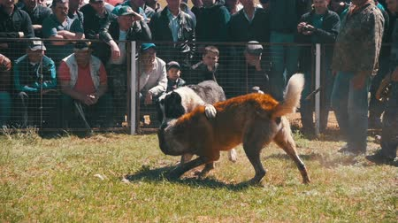 guarda costas : Dog Fights Show. Crowd of People Watching Violent Battle Between Bloodied Dogs in Slow Motion