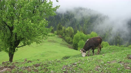 dáma : Cow Grazing on a Meadow. Top of Mountain Hill Among the Clouds. Georgia