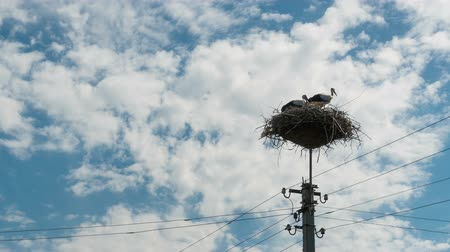 ciconiidae : Storks Sitting in a Nest on a Pillar High Voltage Power Lines. Time Lapse