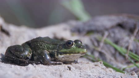 mudança : Green Frog Sits on the Shore near the River