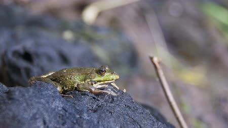 european tree frog : Green Frog Sits on the Shore near the River