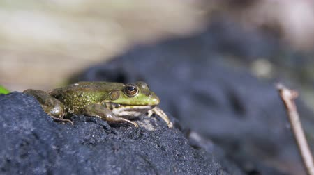 anura : Green Frog Sits on the Shore near the River