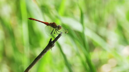 coleopteres : Red Dragonfly on a Branch Stock Footage
