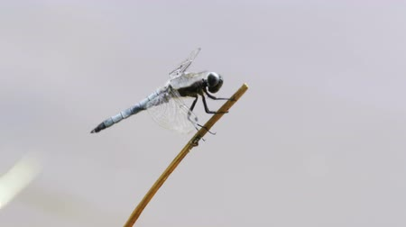 coleopteres : Dragonfly on a Branch Stock Footage