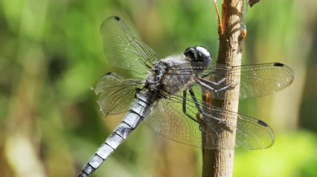 libellula depressa : Dragonfly on a Branch on Green Plants Background