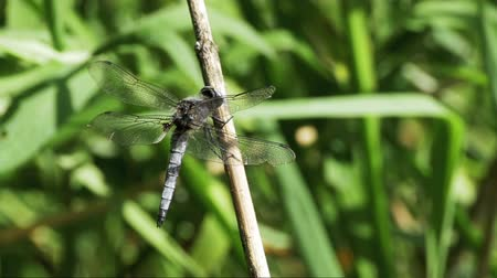 libellula depressa : Dragonfly on a Branch on Green Plants Background. Slow Motion