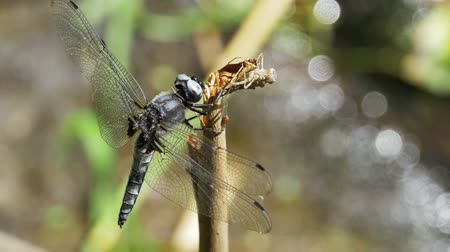 coleopteres : Dragonfly on a Branch on Green Plants Background. Slow Motion