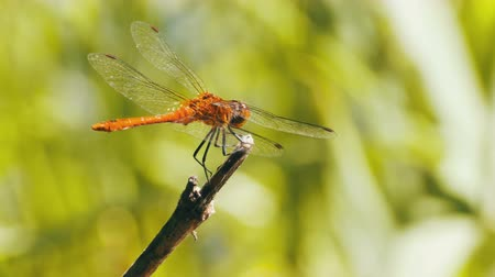 libellula depressa : Red Dragonfly on a Branch Stock Footage