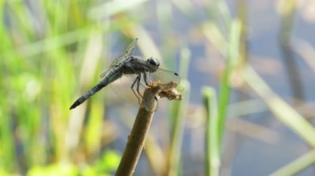 coleopteres : Dragonfly on a Branch on Green Plants Background