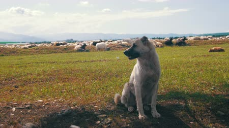 sheepfold : Dog Shepherd Grazing Sheep in the Field
